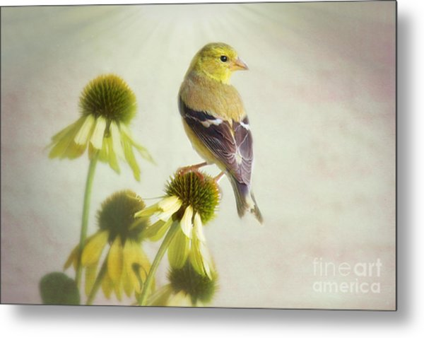 American Goldfinch On Coneflower Metal Print