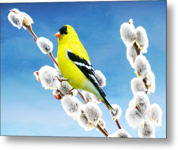 American Goldfinch Perched On Pussy Willow Metal Print