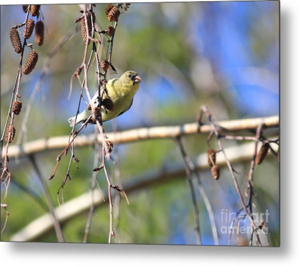 American Goldfinch Metal Print by Wingsdomain Art and Photography