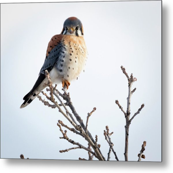 American Kestrel At Bender Metal Print