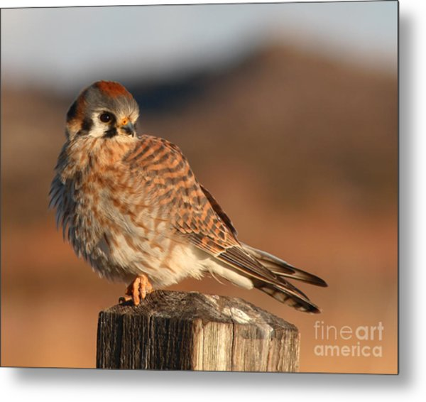 American Kestrel Giving Hunting Stare Metal Print by Max Allen
