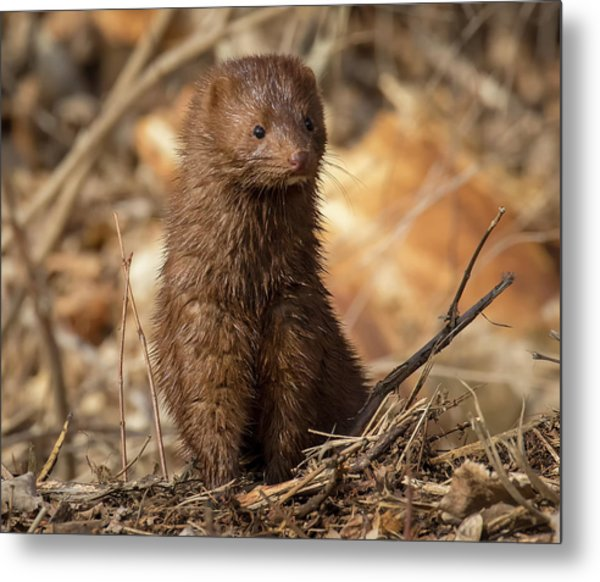 Metal Print featuring the photograph American Mink At Johnson Park by Ricky L Jones