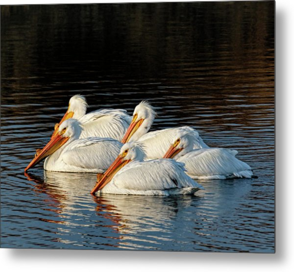 Metal Print featuring the photograph American Pelicans - 03 by Rob Graham