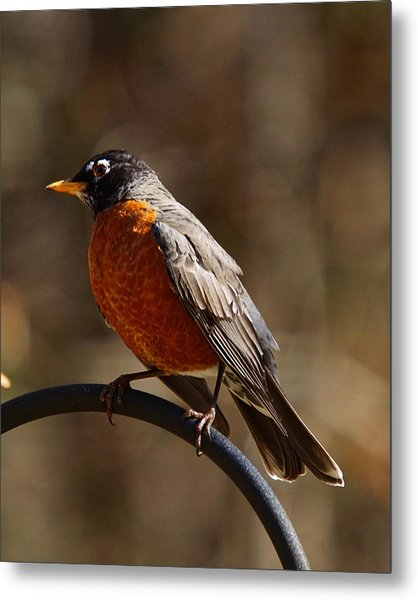 Metal Print featuring the photograph American Robin by Robert L Jackson