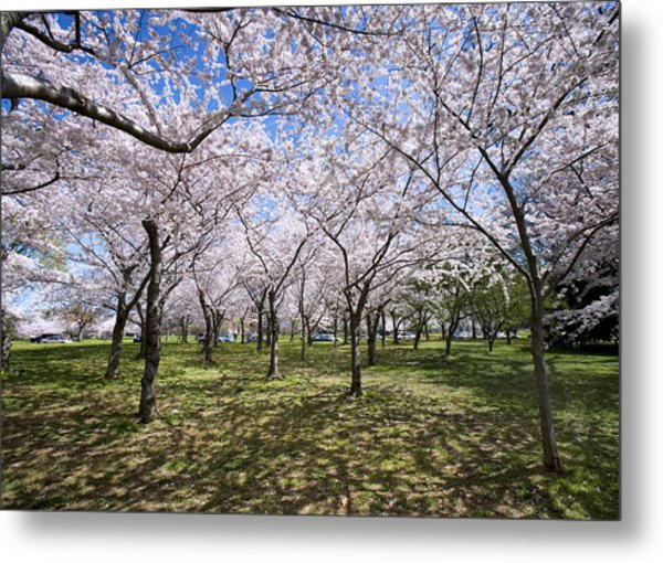 Amid Cherry Trees Washington D.c. Cherry Blossom Festival Metal Print by Brendan Reals