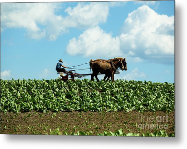 Amish Farmer With Horses In Tobacco Field Metal Print