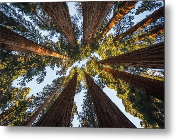 Amongst The Giant Sequoias Metal Print