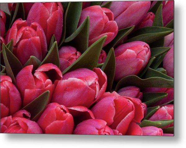 Amsterdam Red Tulips Metal Print