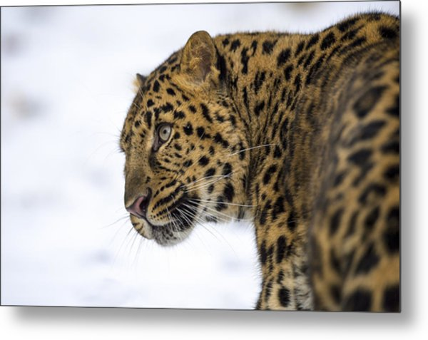 Amur Leopard In The Snow Metal Print