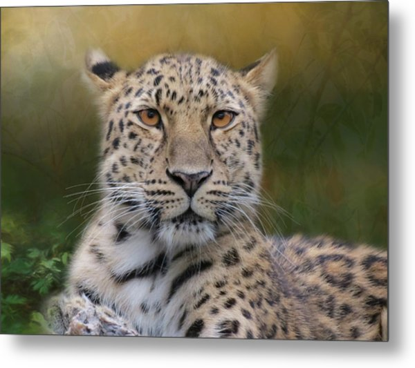 Metal Print featuring the photograph Amur Leopard by Patti Deters