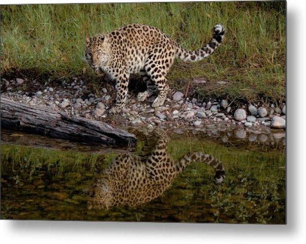 Amur Leopard Reflection Metal Print