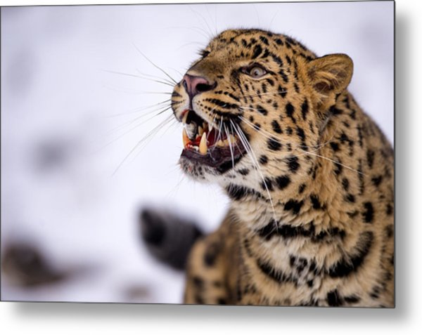 Amur Leopard With A Bloody Smile Metal Print