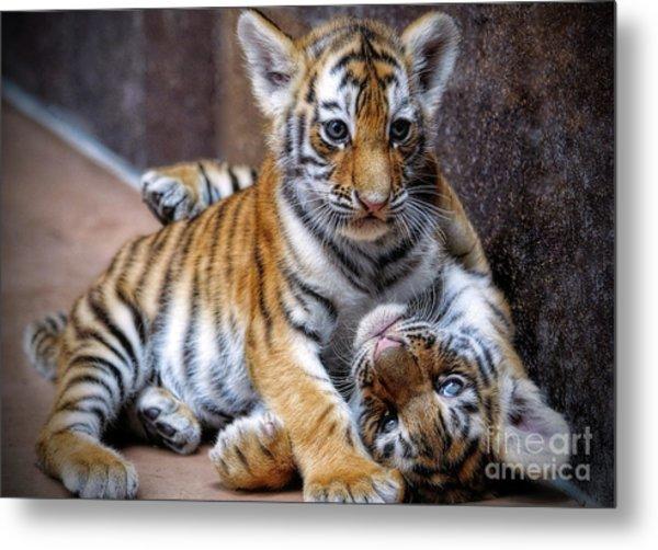 Amur Tiger Cubs Metal Print