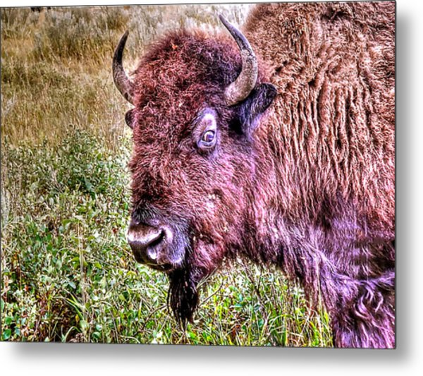 An Astonished Bison Metal Print