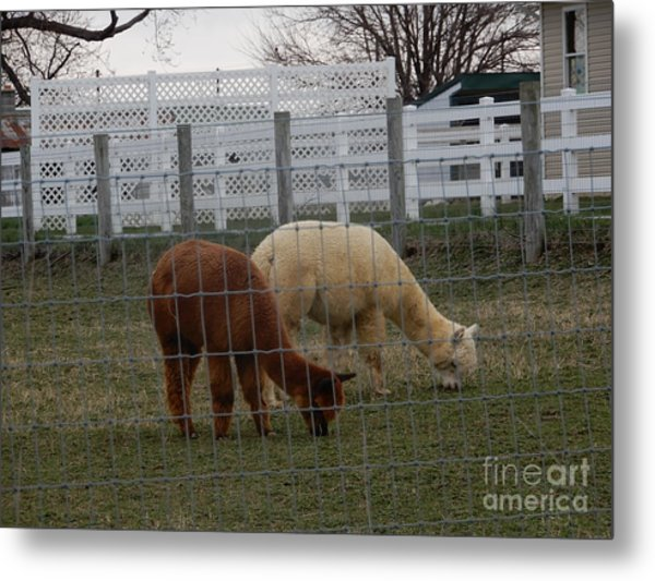 An Evening Graze Metal Print