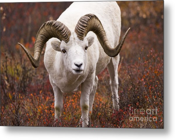 An Exceptional Ram Metal Print by Tim Grams