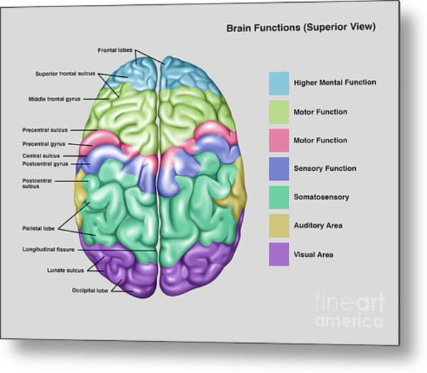 Superior frontal sulcus metal prints and superior frontal sulcus anatomy functions of brain metal print ccuart Images