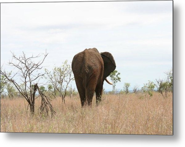 Ancient Elephant Metal Print by Debbie Cundy