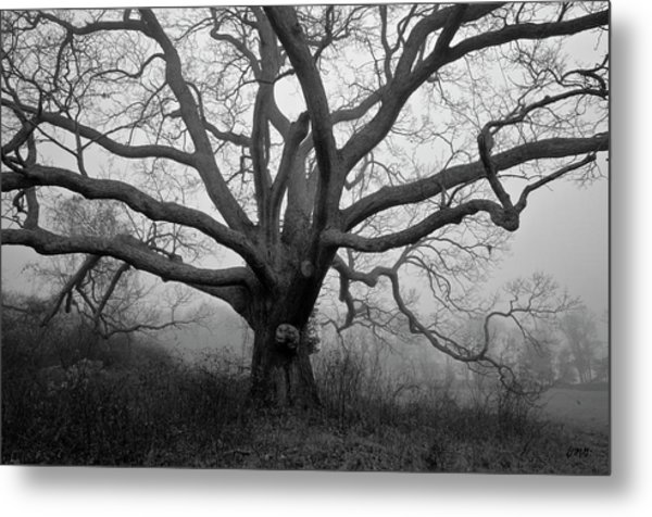 Ancient Oak Tree V - Sheep Pasture Metal Print