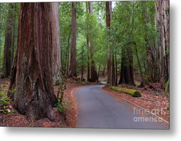 Ancient Redwoods Metal Print