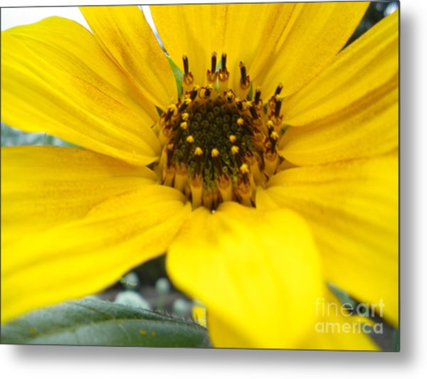 Angled Sunflower Metal Print