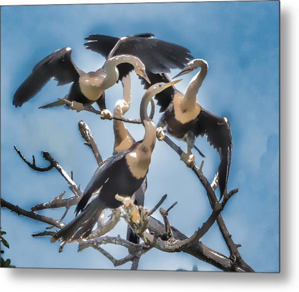Anhinga Feeding Time Metal Print