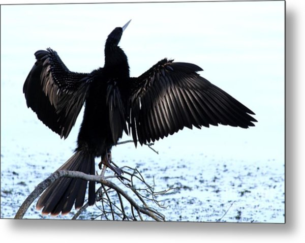 Anhinga Spread Eagle Metal Print