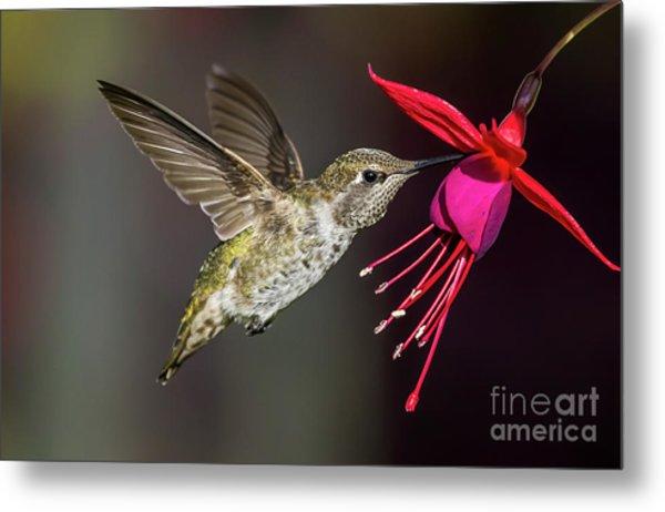 Anna Immature Hummingbird Metal Print