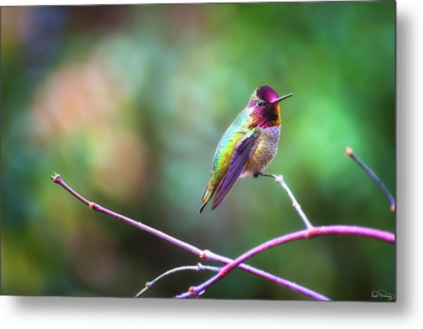Anna's Hummingbird II Metal Print