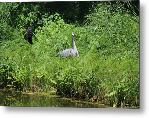 Annoyed - Heron And Red Winged Blackbird 1 Of 10 Metal Print
