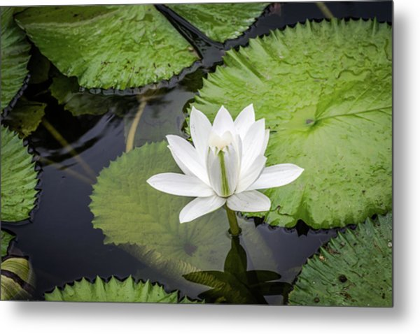 Another Lily Metal Print