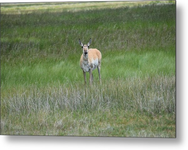 Prong Horned Antelope Lake John Swa Co Metal Print