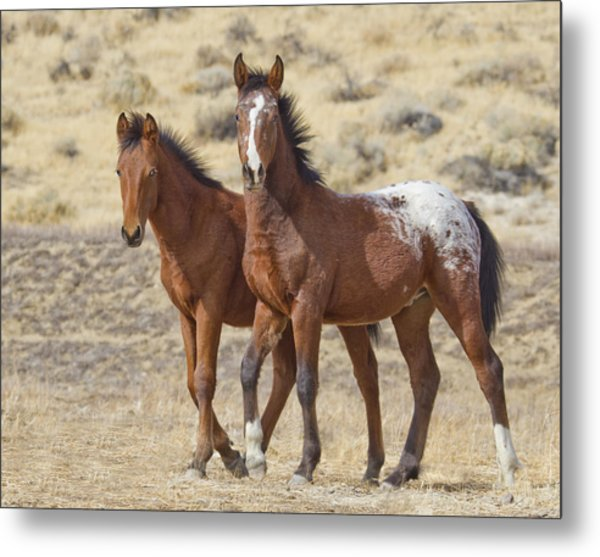 Appaloosa Mustang Foals Metal Print