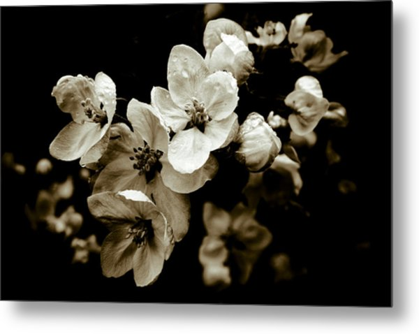 Apple Blossom Metal Print by Frank Tschakert