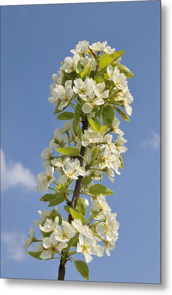 Apple Blossom In Spring Metal Print