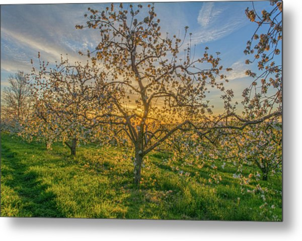 Apple Blossoms At Sunrise 2 Metal Print