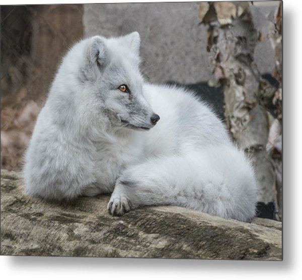 Arctic Fox Profile Metal Print