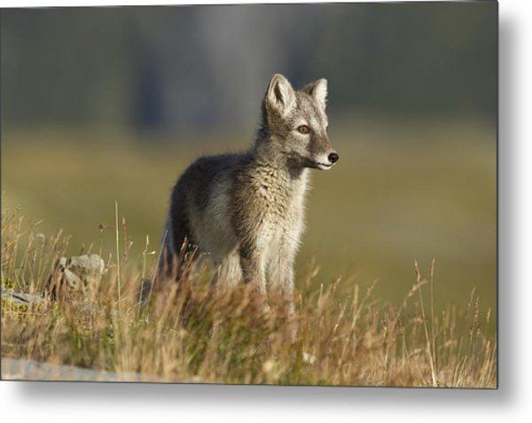 Arctic Fox Puppie Metal Print by Karen Kolbeck