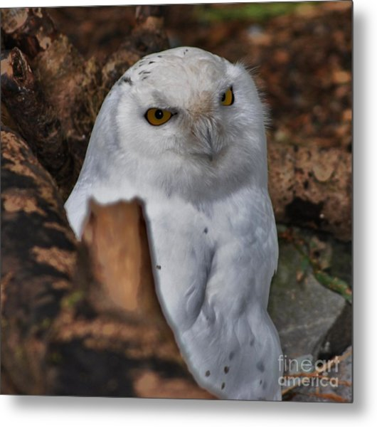 Arctic Snow Owl Metal Print