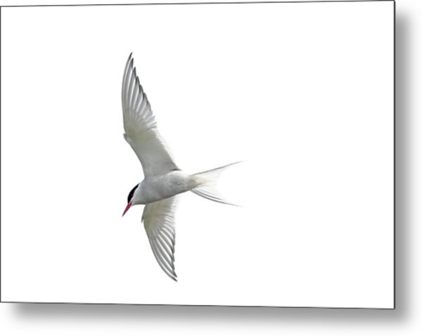 Arctic Tern Flying In Mist Metal Print