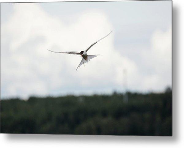 Arctic Tern In Flight Metal Print