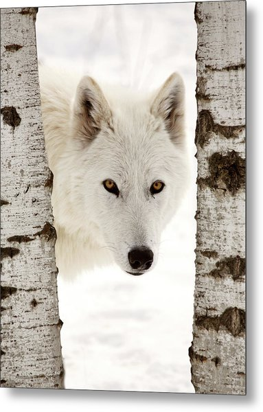 Arctic Wolf Seen Between Two Trees In Winter Metal Print