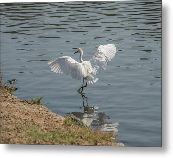 Are You Ready To Dance - Great Egret In Mtn View Ca Metal Print
