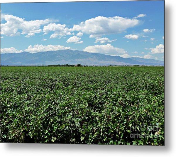 Arizona Cotton Field Metal Print