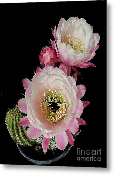 Arizona Desert Cactus Flowers Metal Print