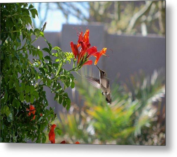 Arizona Hummingbird Metal Print