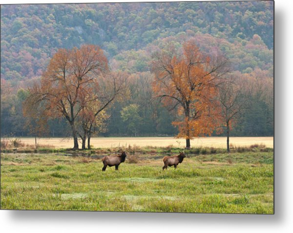 Arkansas Elk - 7802 Metal Print