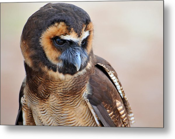 Asian Brown Wood Owl Metal Print by Alan Lenk
