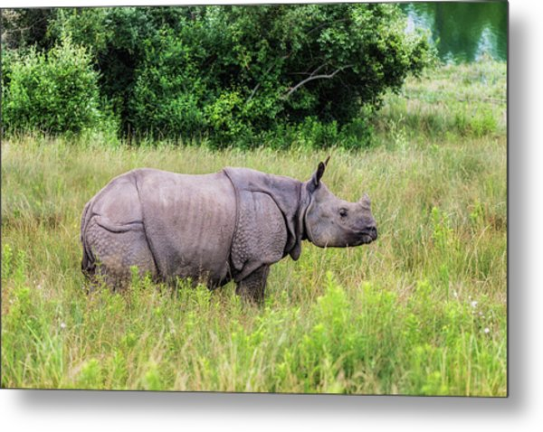 Asian Rhinoceros Metal Print