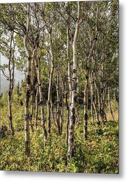 Metal Print featuring the photograph Aspen Delight At Glacier by Lon Dittrick